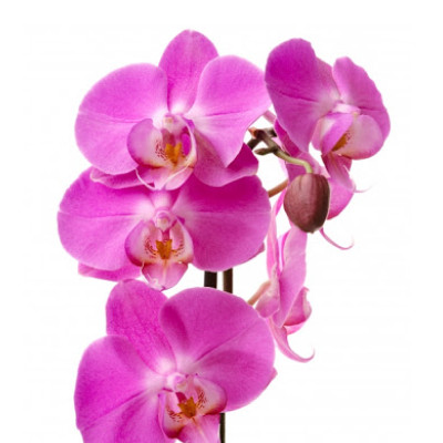 Цветок орхидея